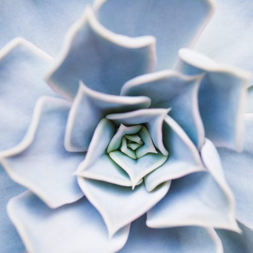 Succulent flower pattern closeup
